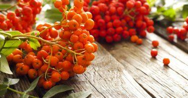 Красная рябина: польза и вред для здоровья