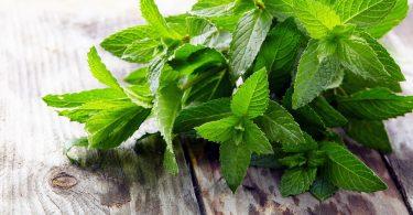 Мята: польза и вред растения, противопоказания