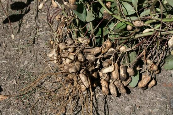 Земляной арахис: польза и вред ореха