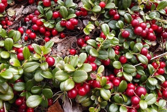 Брусника: польза целительных ягод для организма