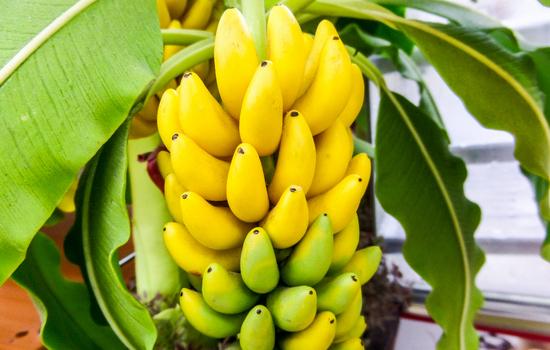 Противопоказаний к употреблению бананов